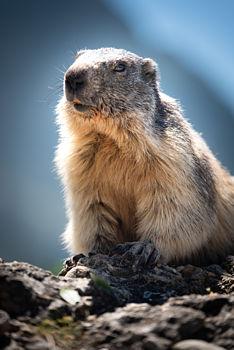 Marmotte du Queyras
