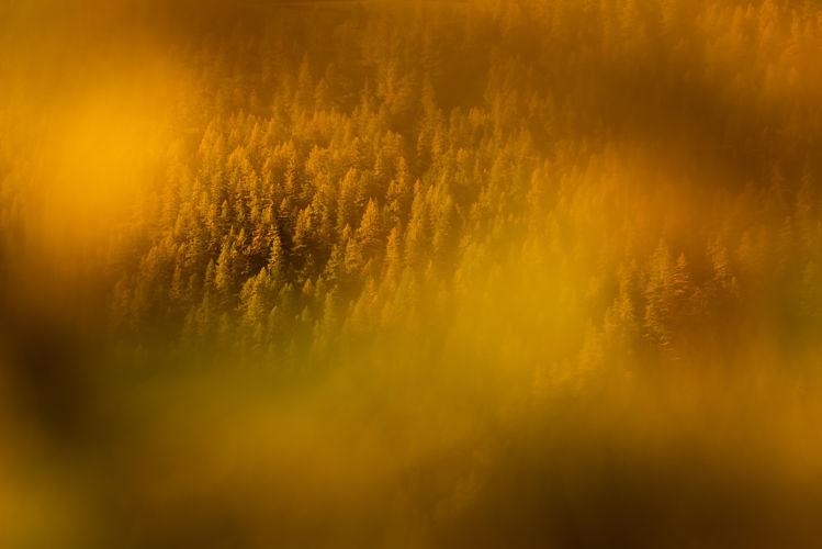 Mélèzes dorés
