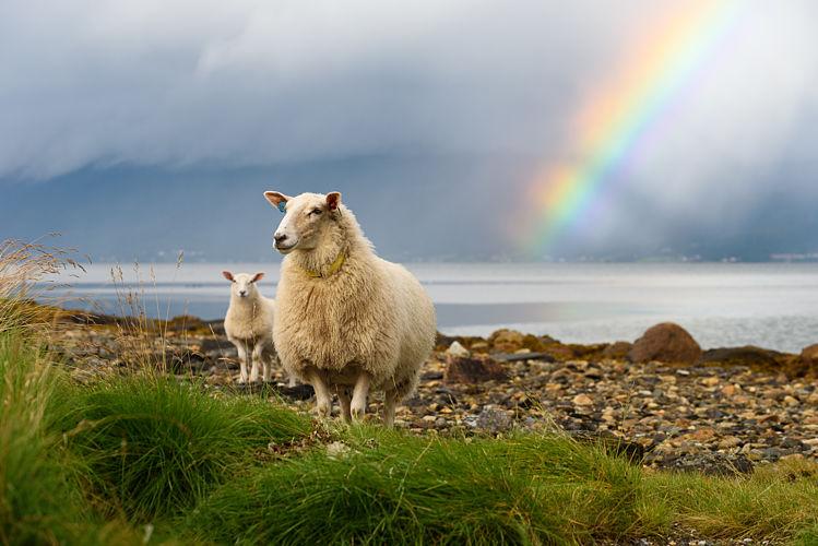 mouton arc en ciel