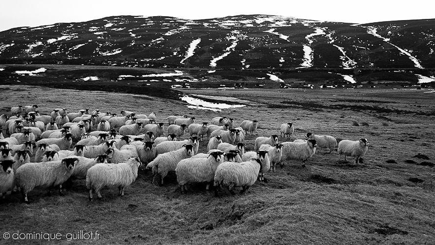 Moutons Écossais