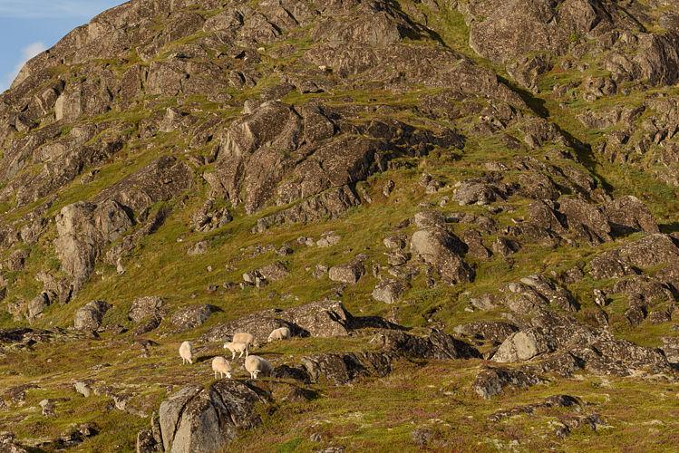 Quelques moutons